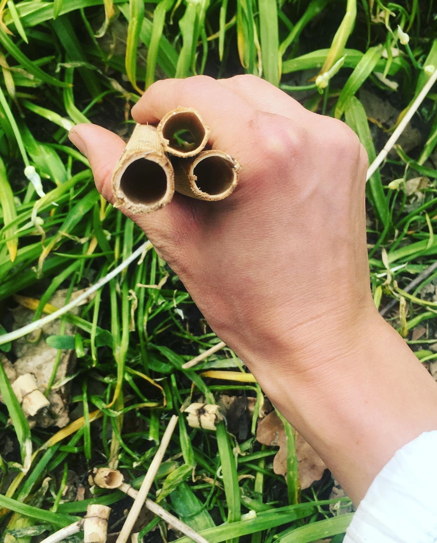 japanese knotweed straws